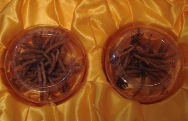 冬蟲夏草的價格是多少錢一克