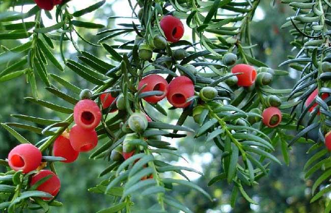 红豆杉图片