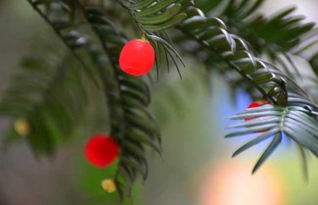 红豆杉什么时候开花结果?