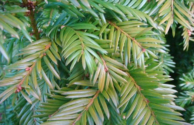 紅豆杉的種植前景