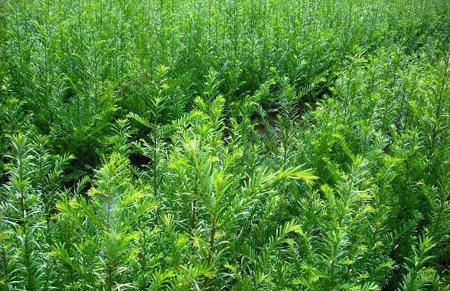 红豆杉的种植前景
