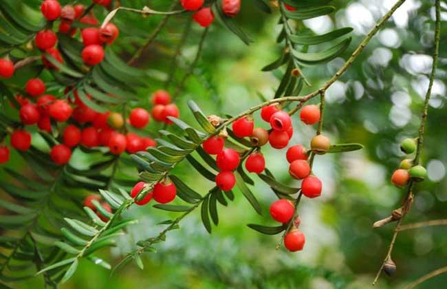 紅豆杉種植技術視頻