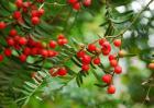 红豆杉种植技术视频