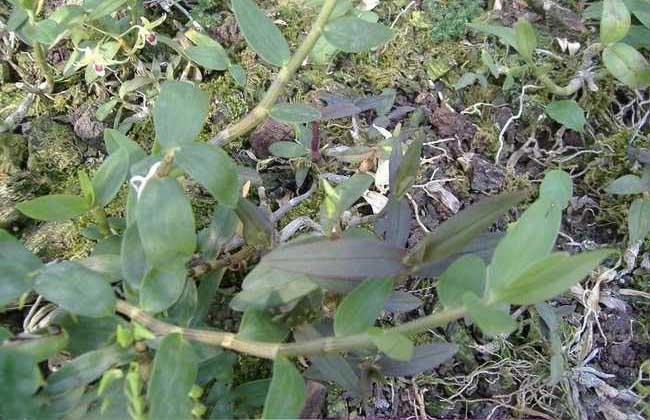 野生铁皮石斛图片