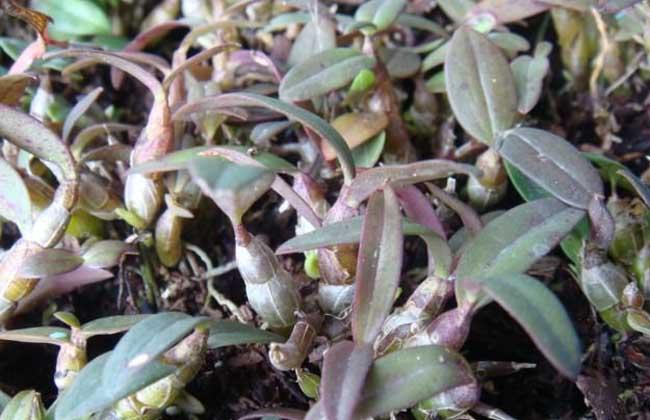 铁皮石斛的种植前景
