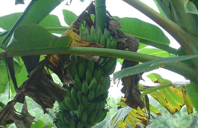香蕉有种子吗?