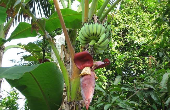 香蕉有种子吗