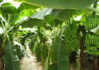 香蕉的产地分布有哪些?