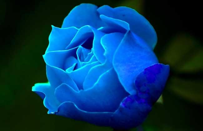 蓝玫瑰花语