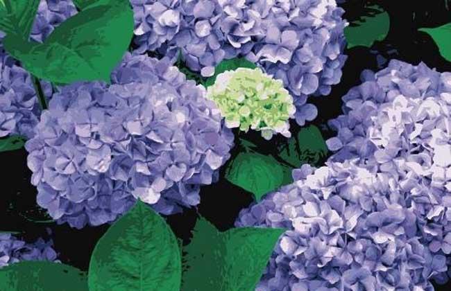 绣球花的花期