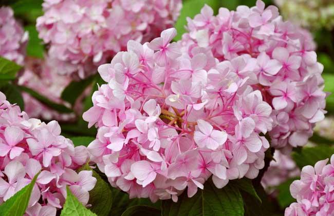 绣球花的家庭养殖方法