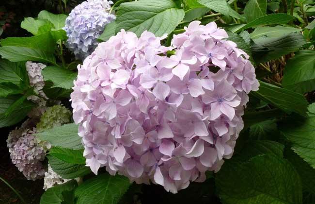 绣球花的养殖作用