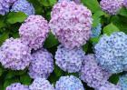 绣球花的花期是什么时候?