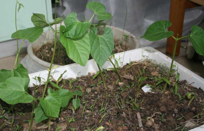 四季豆种植技术视频