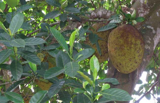 榴莲种植技术视频