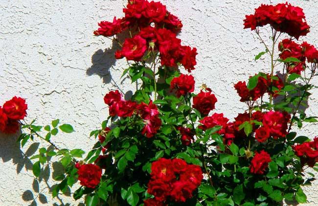 玫瑰花种子种植方法