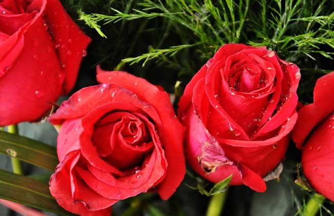 玫瑰花的品种及图片大全