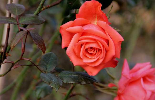 玫瑰花种植技术视频