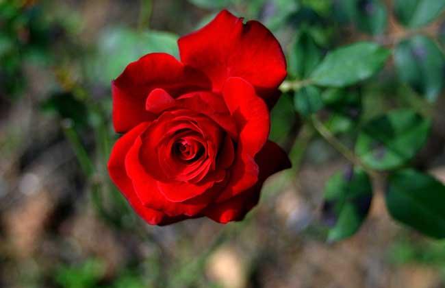 红玫瑰花语与不同朵数代表的意思