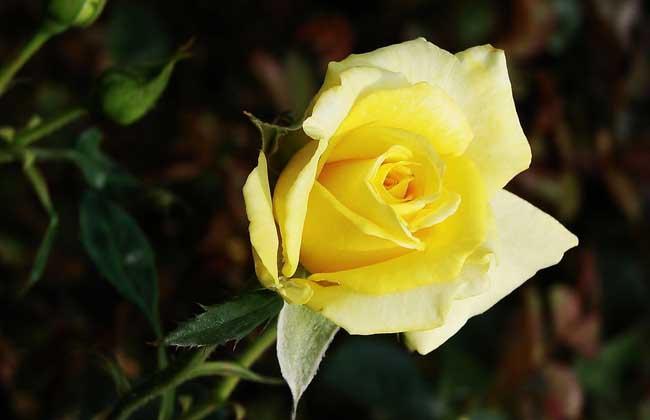 黄玫瑰花语是什么?