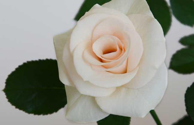 香槟玫瑰花语是什么?