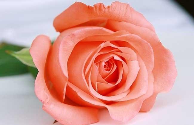 粉玫瑰花语和不同朵数所代表的意思