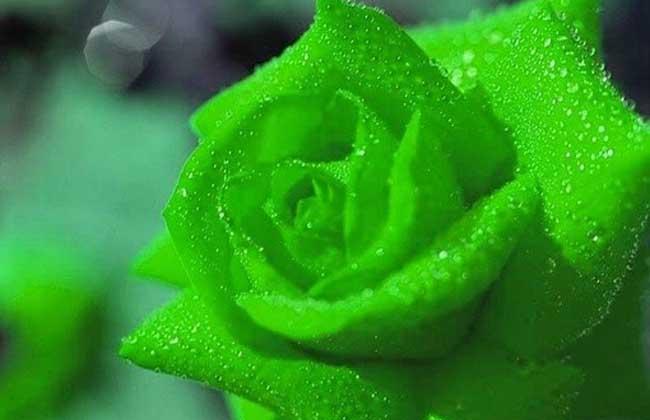 绿玫瑰花语是什么?