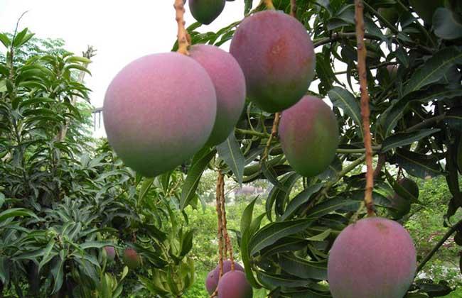 芒果种植技术视频