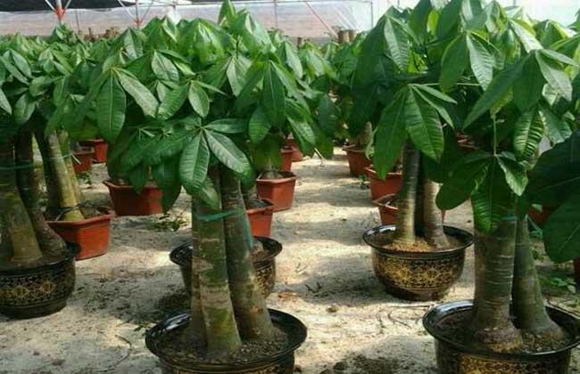 发财树的繁殖方法