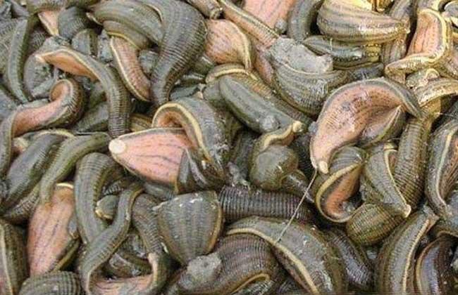 水蛭的种类有哪些?