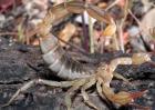 蝎子的功效与作用及禁忌