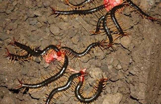 蜈蚣养殖技术视频