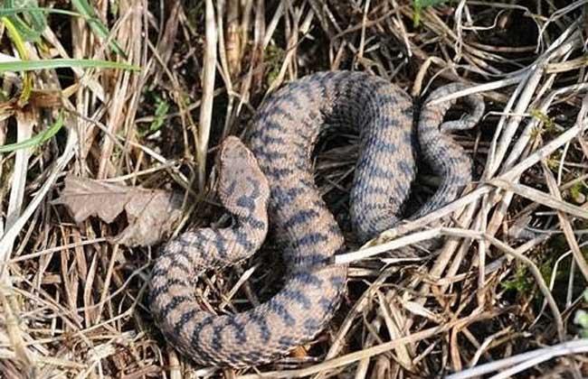 鼓腹巨蝰蛇