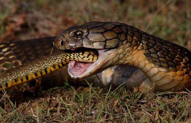 眼镜王蛇vs黑曼巴蛇