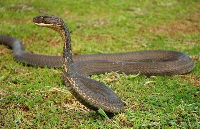 黑曼巴蛇vs眼镜王蛇