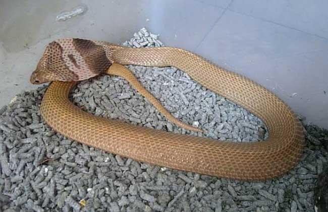 舟山眼镜蛇