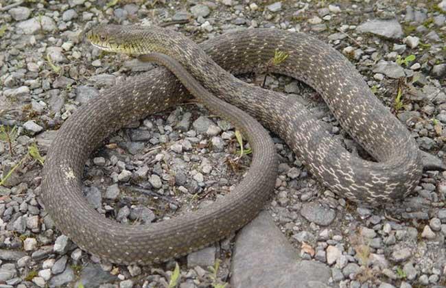 有毒蛇和无毒蛇的区别