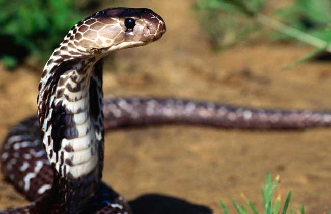"""世界上最大的毒蛇:眼镜王蛇 世界上目前发现的最大的毒蛇是眼镜王蛇,长约5.6米,眼镜王蛇又称山万蛇、过山峰、大扁颈蛇、大眼镜蛇、大扁头风、扁颈蛇、大膨颈、吹风蛇、过山标等。虽称为""""眼镜王蛇"""",但此物种与真正的眼镜蛇不同,它并不是眼镜蛇属的一员,而是属于独立的眼镜王蛇属。相比其他眼镜蛇性情更凶猛,反应也极其敏捷,头颈转动灵活,排毒量大,是世界上最危险的蛇类之一。"""
