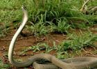 黑曼巴蛇的天敌有哪些?
