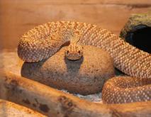 世界十大毒蛇排行榜