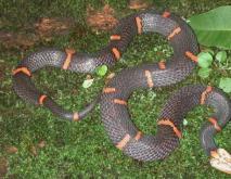 神秘而令人恐惧的喜玛拉雅白头蛇