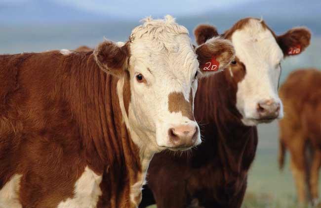 海福特肉牛