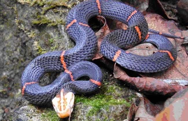 喜玛拉雅白头蛇图片