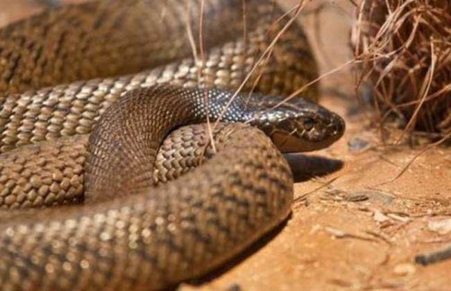 查佩尔岛虎蛇