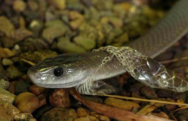 黑曼巴蛇图片