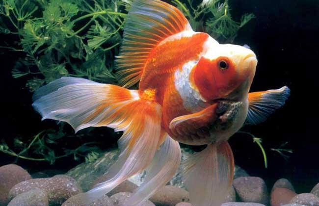 养金鱼的风水禁忌
