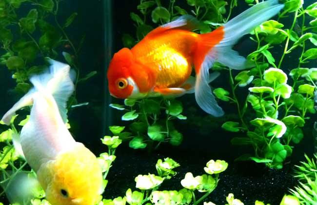 金鱼吃什么食物?