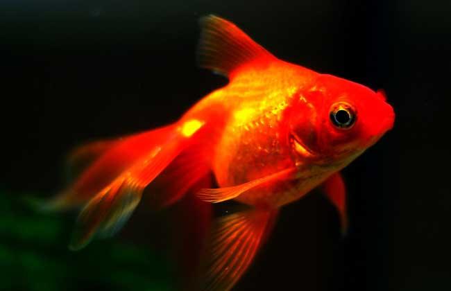 金鱼的繁殖方法