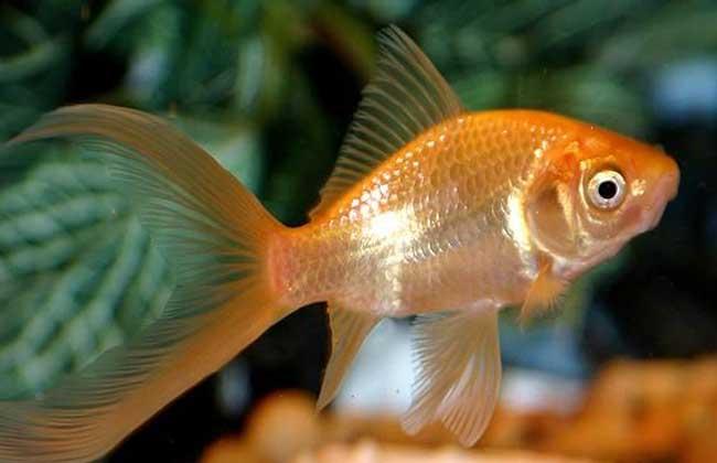 草金鱼怎么养?