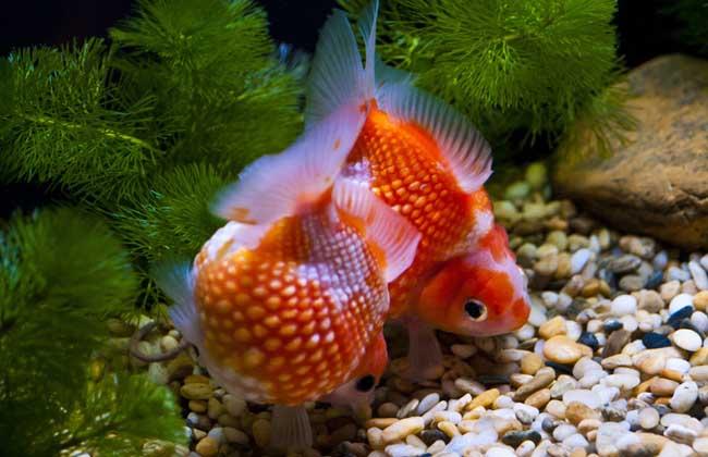 金鱼的喂食方法